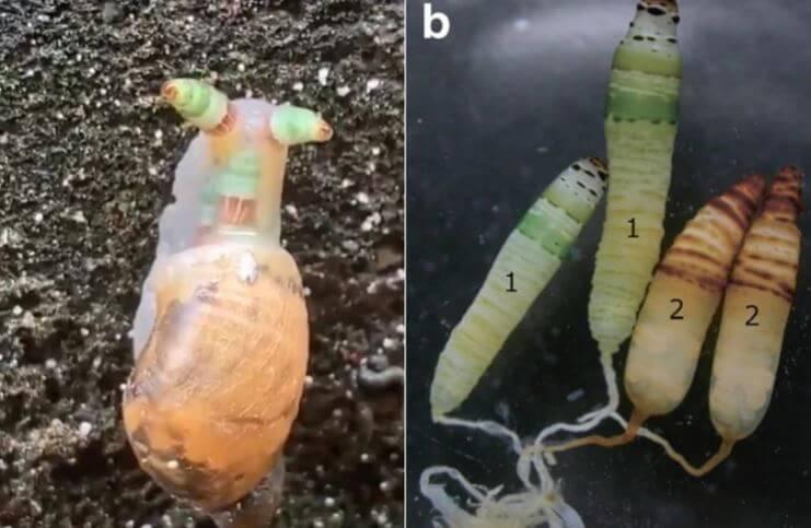 Leucochloridium y larvas infectando a un caracol